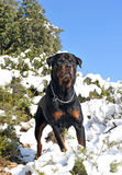 Rottweiler in the snow Stock Photography