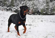 Rottweiler in the snow Stock Photos