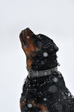 Rottweiler in a snowing wintertime Stock Photos