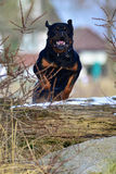 Rottweiler som hoppar en logga royaltyfria foton