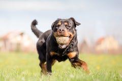 Rottweiler som spelar Fetch Arkivbilder