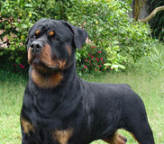 Rottweiler standing. Pure breed rottweiler royalty free stock photography