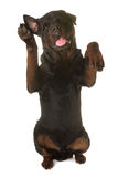 Rottweiler standing up. In front of white background Royalty Free Stock Photos