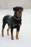 Rottweiler stay in the snow. Of winter Royalty Free Stock Images