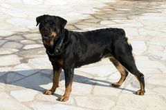 Rottweiler sur le dispositif protecteur Photos libres de droits