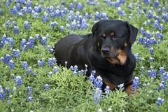 Rottweiler sur un Bluebonnet fleurit Photos libres de droits