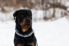 Rottweiler sur une promenade photo stock