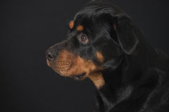 Rottweiler sweetheart. Sweet looking Rottweiler dog at a black background with droopy begging eyes Stock Photo