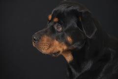 Rottweiler sympatia Zdjęcie Stock