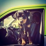 Rottweiler szczeniak Obraz Royalty Free