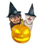 Rottweiler szczeniak i gniewni kotów zerknięcia out od bani za Na biel Obrazy Stock