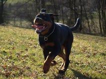 Rottweiler szczeniaka bieg obrazy royalty free