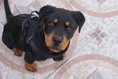 Rottweiler szczeniaka Pozować obraz royalty free
