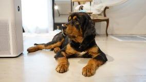 Rottweiler taka odpoczynek na pod?odze zdjęcie stock