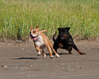 Rottweiler and American staffordshire terrier met Royalty Free Stock Photography
