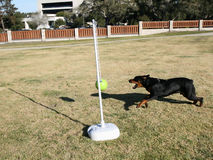 Rottweiler Tetherball. Tanker the wonder dog playing tetherball Stock Images