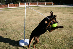 Rottweiler Tetherball Immagine Stock