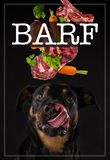 Rottweiler with tired tongue. Concept of barf meal. royalty free stock image