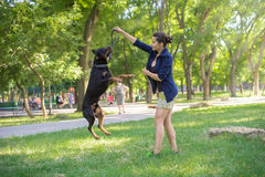 Rottweiler are trained in park Stock Photos
