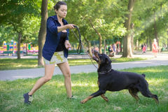 Rottweiler are trained in the park Stock Photo