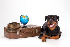 Rottweiler with travel suitcase and globe. Beautiful young rottweiler dog lying near brown travel valise with globe and hat, isolated on white background Stock Photography