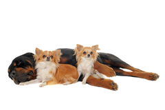 Rottweiler and two chihuahuas Royalty Free Stock Image