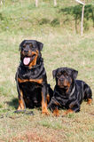Rottweiler. Two Rottweiler dogs are sensitive to instructor Stock Photo