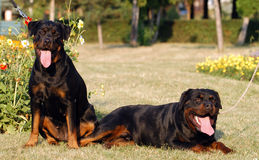 Rottweiler. Two rottweiler dogs sit quietly in the park Stock Photos