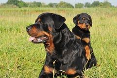 Rottweiler und Welpe Stockfotos