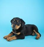 Rottweiler valp Fotografering för Bildbyråer