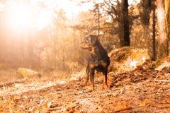 Rottweiler valp Arkivfoton