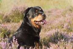 Rottweiler w heathland Obraz Stock
