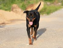 Rottweiler Walking on Gravel Road with Tongue Out stock photography