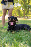 Rottweiler are walking in park Royalty Free Stock Photography