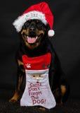 Rottweiler-Weihnachten lizenzfreie stockfotografie