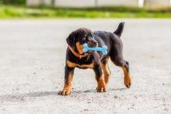 Rottweiler-Welpe, der mit dem Gummiknochen spielt Lizenzfreies Stockbild
