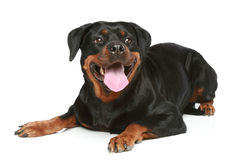 Rottweiler on a white background Royalty Free Stock Photo
