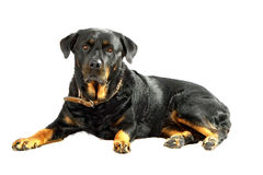 Rottweiler on white isolated background Royalty Free Stock Photography