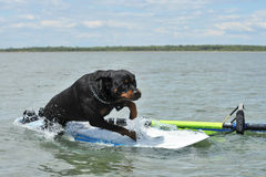Rottweiler and windsurf. Purebred rottweiler jumping on a windsurf in the sea stock photography