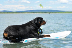 Rottweiler and windsurf. Purebred rottweiler resting on a windsurf in the sea stock images