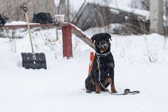 Rottweiler winter walking. The Rottweiler winter a walking Royalty Free Stock Photo