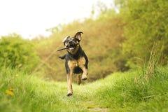 Rottweiler wolfdog pies Obraz Royalty Free