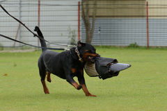 Rottweiler, working test Stock Photography