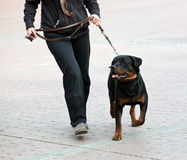 Rottweiler y paseo del amo Fotografía de archivo