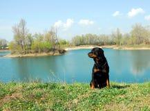 Rottweiler y río imagen de archivo libre de regalías