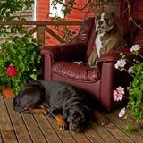 Rottweiler y retrato del bulldogg foto de archivo