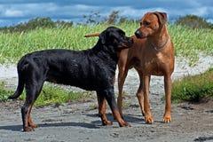 Rottweiler y Rhodesian Ridgeback se encuentran en la playa fotos de archivo