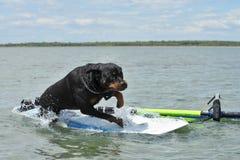 Rottweiler y windsurf fotografía de archivo