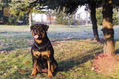 Rottweiler zit op de herfstweide Stock Foto's