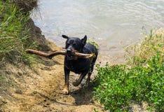 Rottweilerhond die met stok lopen Royalty-vrije Stock Fotografie
